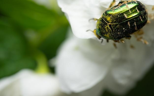 Майский жук сидит на цветах