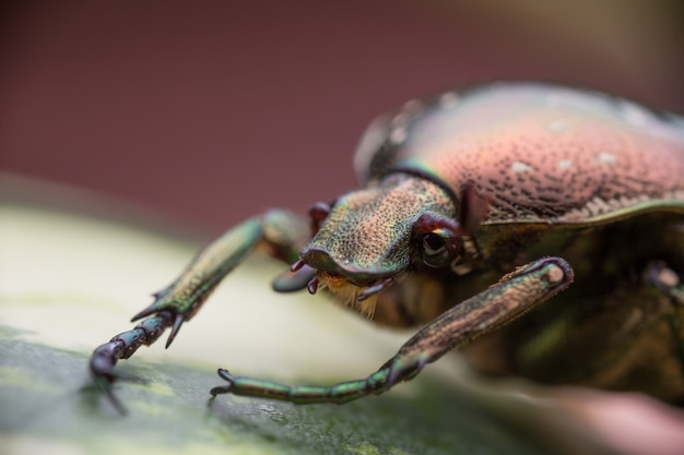 Chafer in nature