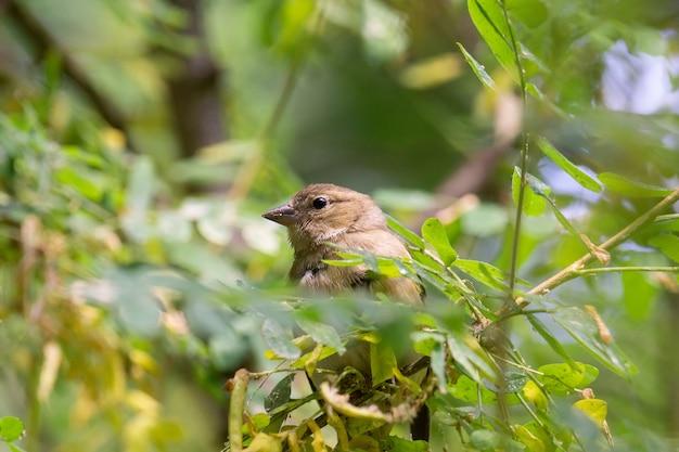 Chaffinch on branch