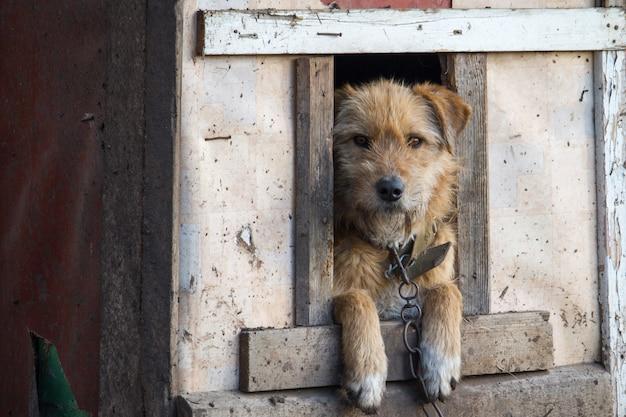 解放されるのを待っている頭を持つ木製の犬小屋で鎖でつながれた犬