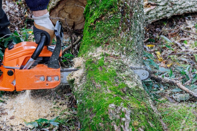 Chainsaw cutting into tree of sawdust and chippings an uprooted broken tree, torn by the wind during a violent storm