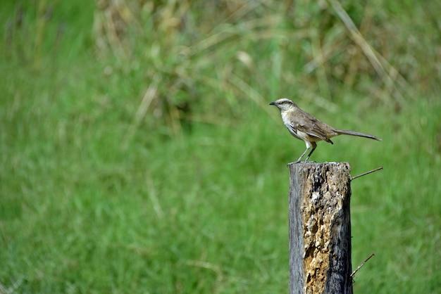 Chalk-browed mockingbird on top of post fence
