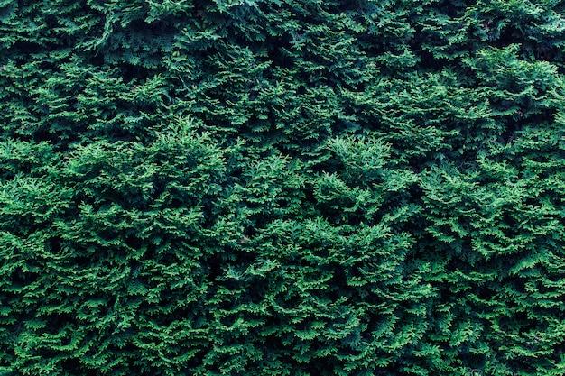 Chamaecyparis植物と美しい背景