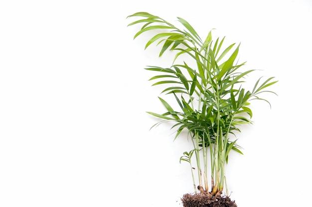 Пальма chamaedorea на белом фоне. скопируйте пространство. баннер