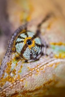 ベールに包まれたカメレオンがカメラを見つめています(chamaeleo calyptratus)