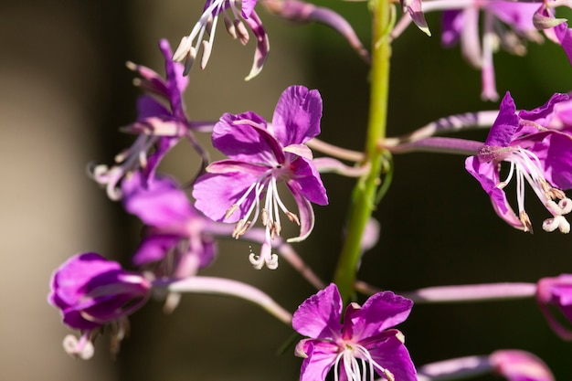 Chamaenerion angustifolium, fireweed, great willowherb, rosebay willowherb is a perennial herbaceous flowering plant in family onagraceae. fireweed leaves from this plant can undergo fermentation.