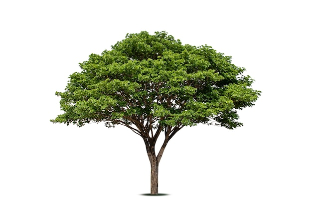 Дерево чамчури (рейнтри) или саман саман дерево, изолированные на белом фоне, мягкий фокус.