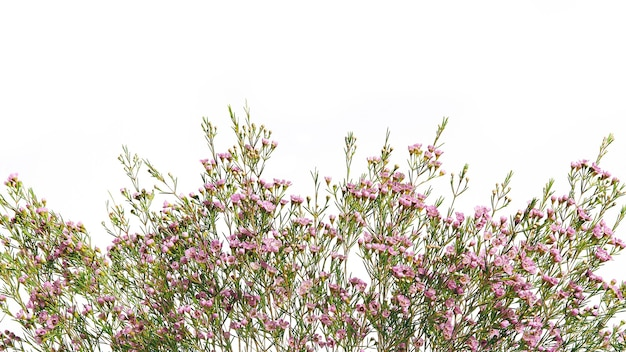Chamelaucium flower branch border, for floral design of a postcard or banner.