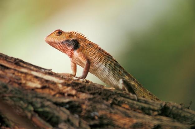 Chameleon on branch, singapore