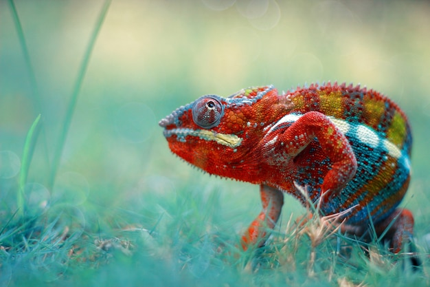Chameleon, chameleon veiled, chameleon phanter,