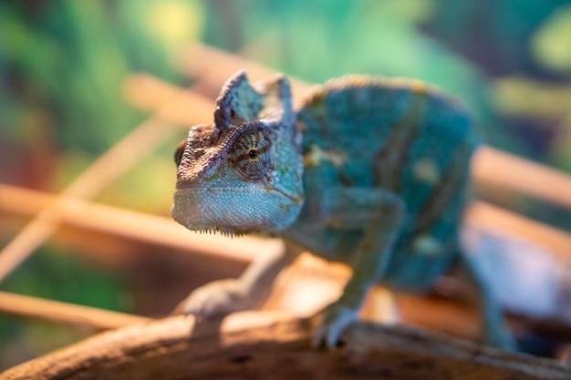 카멜레온을 닫습니다. 다채로운 밝은 피부를 가진 다색 아름다운 카멜레온 클로즈업 파충류, 이국적인 열대 애완동물