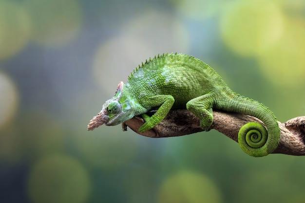 Хамелеон фишер крупным планом на дереве животного крупным планом