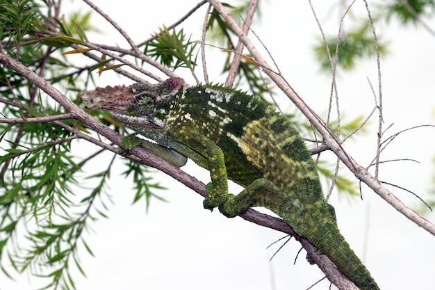 나무에 카멜레온 피셔 근접 촬영 나뭇가지에 걷는 카멜레온 피셔