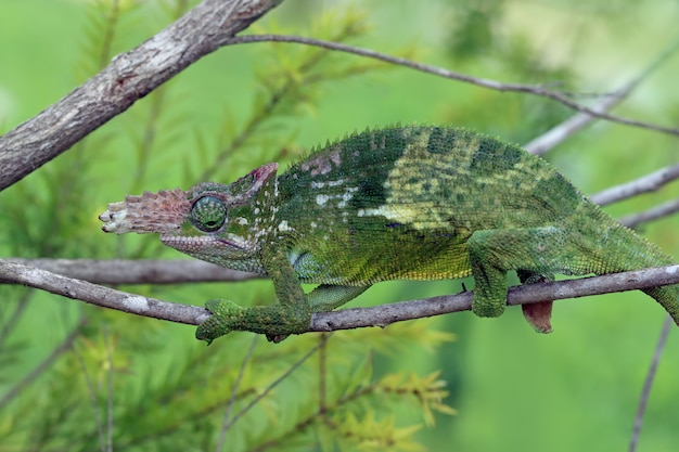 Chameleon fischer closeup su albero camaleonte fischer camminando su ramoscelli camaleonte fischer closeup