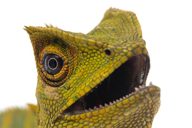 Chameleon forest dragon lizard