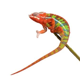 Chameleon furcifer pardalis - ambilobein front on a white isolated