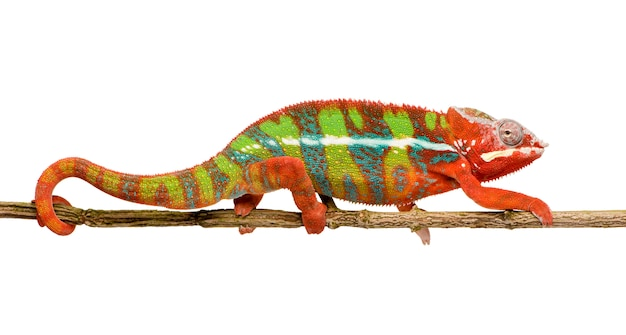 Chameleon furcifer pardalis - ambilobein front on a white isolated