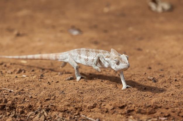 Chameleon walking across gravel road