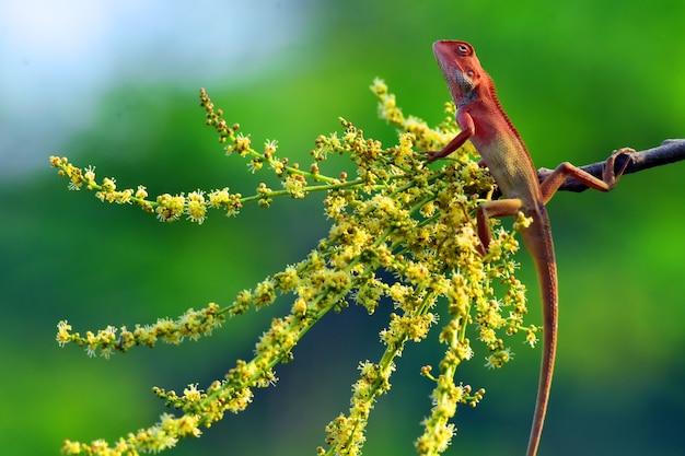자연이있는 카멜레온, 카멜레온 또는 카멜레온은 2015 년 6 월 현재 설명 된 202 종의 구세계 도마뱀의 독특하고 고도로 전문화 된 군단입니다.