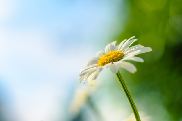 Chamomile. blooming flower