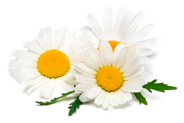 Chamomile or camomile flowers isolated on white.