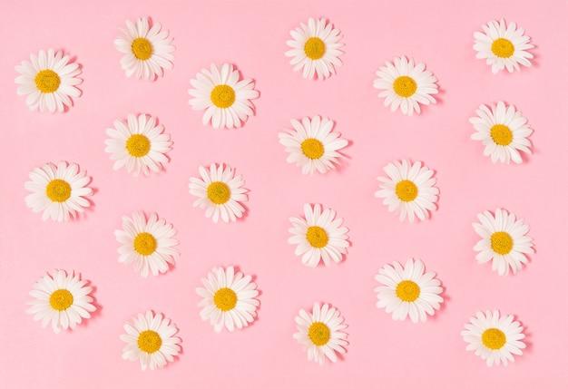 Цветки ромашки ромашки на розовом бумажном фоне. цветочная плоская планировка
