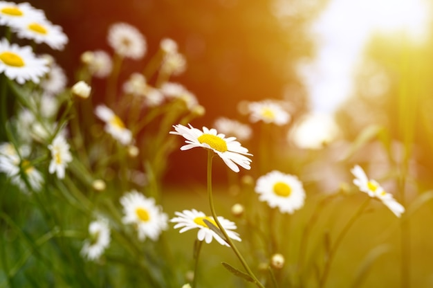 Chamomile or daisy white flower bush in full bloom on a background of green leaves and grass on the field on a summer day. flare