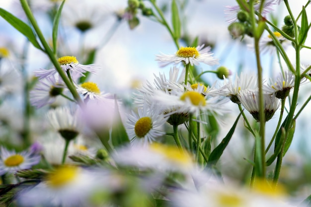 Chamomile during daytime