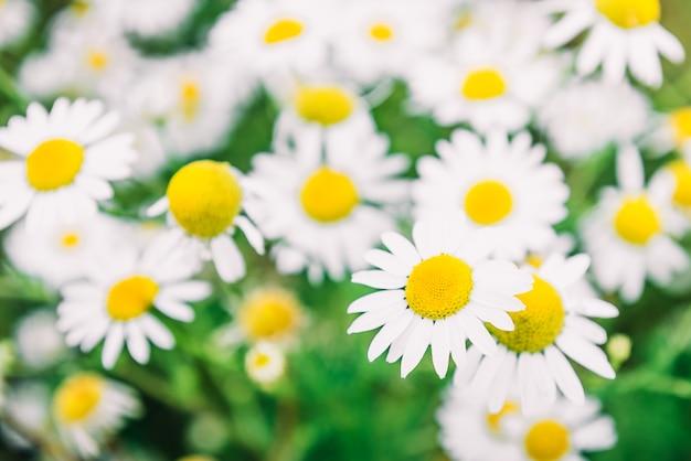 カモミールフィールドの花。太陽フレアに咲く医療chamomillesと美しい夏の自然シーン。ハーブの花