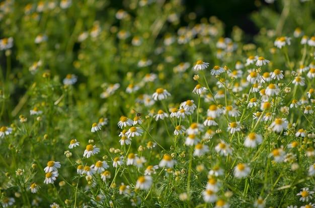 カモミールフィールドの花の境界線。太陽フレアに咲く医療用シャモミルのある美しい自然のシーン。代替医療春のデイジー。夏の花。美しい牧草地。夏の表面