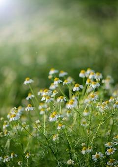 Граница полевых цветов ромашки. красивая природа с цветущими медицинскими ромашками в лучах солнца. альтернативная медицина spring daisy. летние цветы. красивый луг.