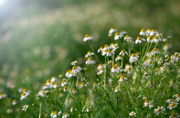 カモミールフィールドの花の境界線。太陽フレアに咲く医療用シャモミルのある美しい自然のシーン。
