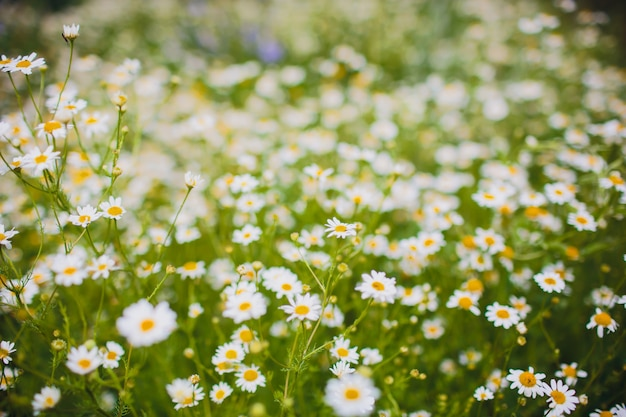 Chamomile field flowers border. beautiful nature scene with blooming medical chamomilles in sun flare. alternative medicine spring daisy. summer flowers. beautiful meadow. summer background.