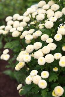 カモミール畑の花の境界線。美しい自然夏の花。美しい牧草地。