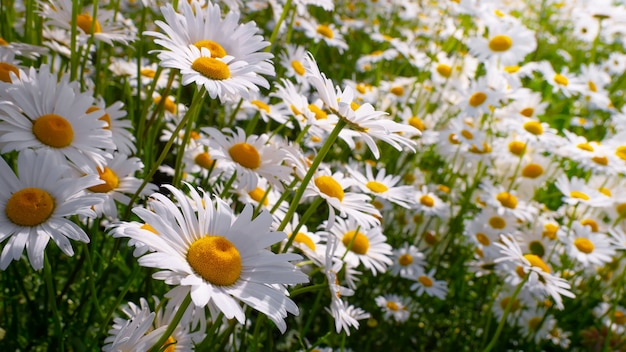 Chamomile in the field in summer on nature