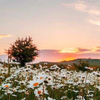 Chamomile field at sunset