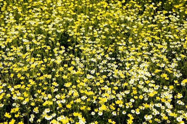 Поле цветов ромашки в прекрасный солнечный день