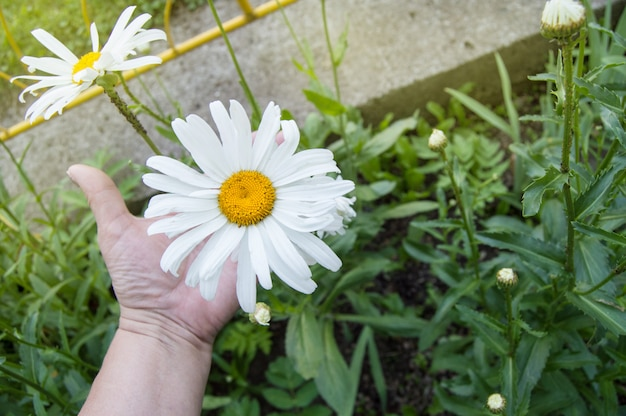Chamomile flower in the hand on a palm green background