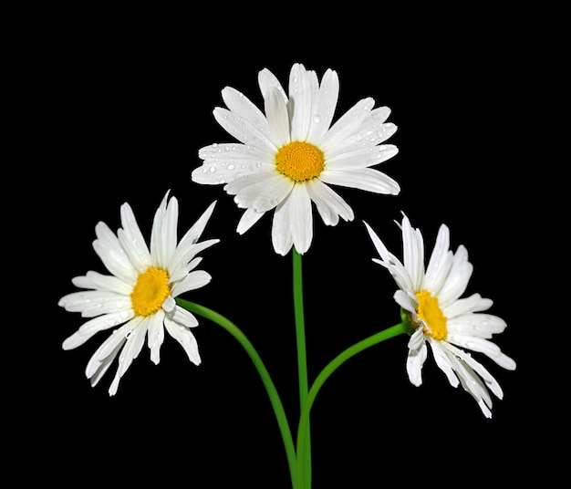 Chamomile flower isolated on a black background