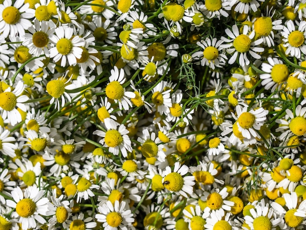 Chamomile flower wall.