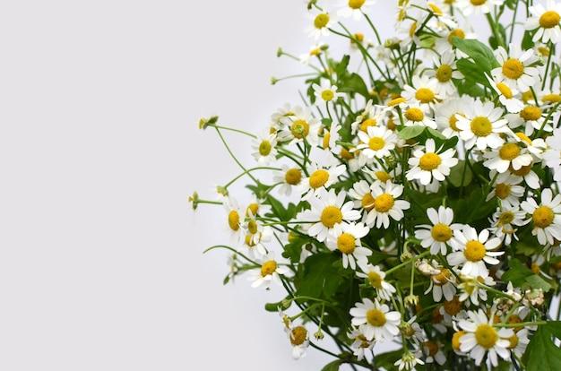 Chamomile flower on white background