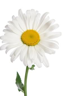 Chamomile flower on white surface