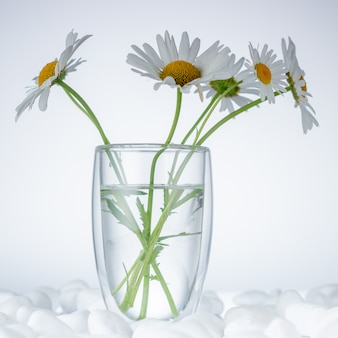 Chamomile flowers are covered with white stones for spa, relaxation concept, or chamomile tea.