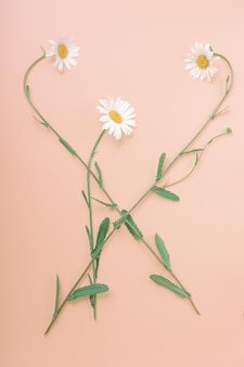Chamomile flowers are laid out in a beautiful composition. vertical, top view. flat lay