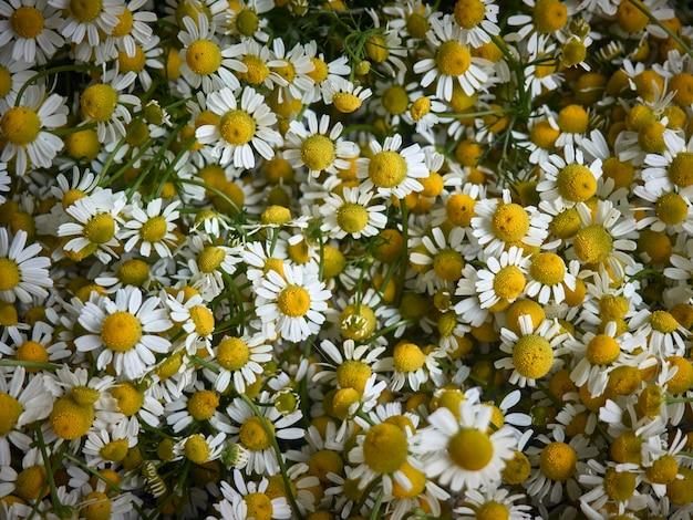 Chamomile flowers background.