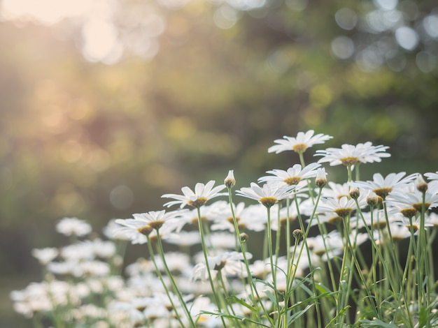 Chamomile flowers. beautiful nature scene with blooming chamomiles