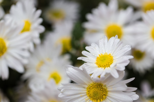Chamomile flowers field background with drops of dew.