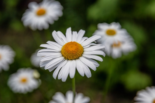 Chamomile flowers in the garden. close-up. top view.