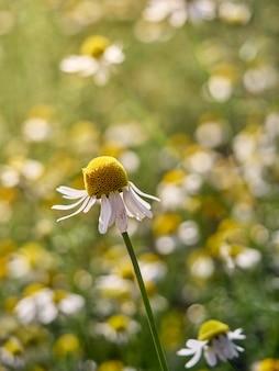 庭のカモミールの花。