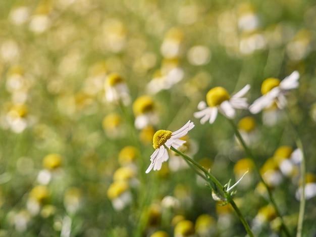 정원에서 카모마일 꽃